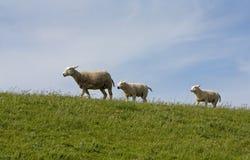 lambs Fotografering för Bildbyråer