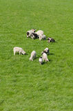 Lambs Stock Images