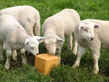 Lambs. Three lambs and a saltblock Royalty Free Stock Images