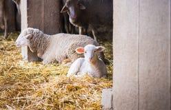 lambs Arkivbild