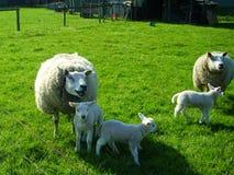 lambs Royaltyfri Bild