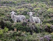 lambs Arkivfoto