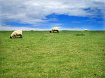 Lambs. On a netherland island meadow Stock Photos