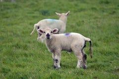 Lambs at Abbotsbury Swannery Stock Photo