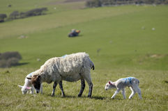 Free Lambs And Sheep, Sussex Royalty Free Stock Images - 14038559