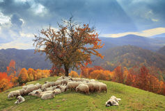 Lambs in the autumn in the mountains Royalty Free Stock Photos