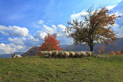 Lambs in the autumn in the mountains Royalty Free Stock Photography