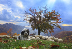 Lambs in the autumn in the mountains Stock Image