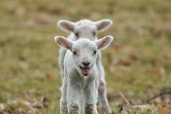 lambs barn Arkivbilder