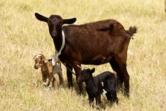Lambs in Bequia, Caribbean. Cattle of young sheep in Bequia island, Grenadines, Caribbean Royalty Free Stock Photos