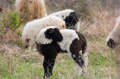 lambs betar får Arkivbild
