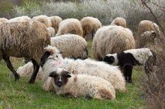 lambs betar får Arkivfoto