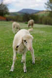 Lambs in countryside Royalty Free Stock Images