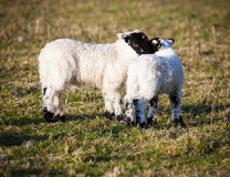Lambs cuddling Stock Photography