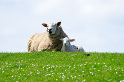 Lambs. Detail of a newborn lamb resting on a with the ewe beside it royalty free stock photography