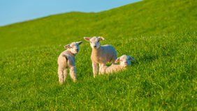 Lambs on a dike in sunlight Royalty Free Stock Image