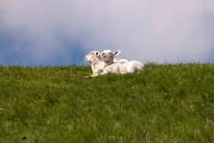 Lambs on the dike of Westerhever Stock Photography