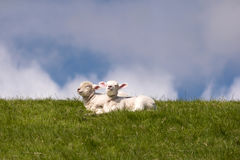 Lambs on the dike of Westerhever Royalty Free Stock Photo