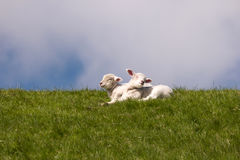 Lambs on the dike of Westerhever Royalty Free Stock Image
