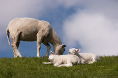 Lambs on the dike of Westerhever Stock Photos