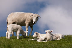 Lambs on the dike of Westerhever Stock Images