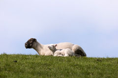 Lambs on the dike of Westerhever Stock Image