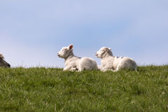 Lambs on the dike of Westerhever Royalty Free Stock Images