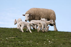 Lambs on the dike of Westerhever Royalty Free Stock Photos