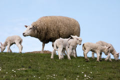 Lambs on the dike of Westerhever Stock Photo
