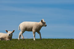 Lambs on a dyke. Two little lambs on a dyke Stock Image