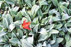 Lambs Ear leaves and red maple leaf Summer Plant. A bed of lambs ear and a single red maple leaf within a garden on the property of the hillstead museum in royalty free stock image