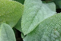 Lambs Ear royalty free stock photo