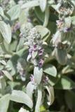 Lambs ears Silver Carpet. Flowers - Latin name - Stachys byzantina Silver Carpet royalty free stock photography