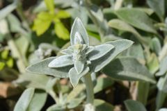 Lambs ears Silver Carpet. Leaves - Latin name - Stachys byzantina Silver Carpet stock images