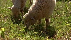 Lambs eat grass. stock video footage