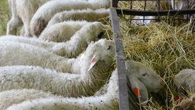 Lambs eating hay stock footage