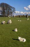 Lambs in England. Lambs and sheep grazing on a spring grass inside the ancient stone circle in Avebury, Wiltshire, England Royalty Free Stock Photos