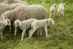 Lambs Everywhere. Sheep farm - lambs and sheep - closeup - green grass -  spring time Royalty Free Stock Photos