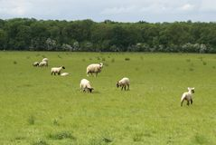 Lambs and ewe in a field in Spring. sheep in the countryside Stock Photo