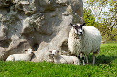 Lambs with ewe. Two lambs with ewe sheep stock image