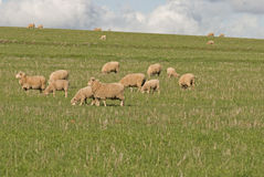 Lambs and ewes. A mob of ewes and lambs grazing in grass pasture close-up Royalty Free Stock Photos