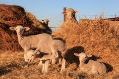 Lambs and ewes. Lambs standing in the morning sun to warm up after a cold winters night Stock Photo