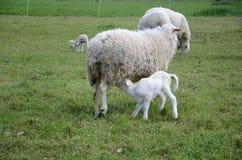 lambs får Royaltyfri Bild