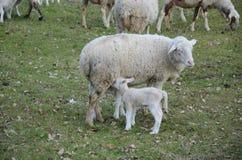 lambs får Royaltyfria Foton