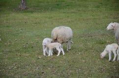 lambs får Fotografering för Bildbyråer