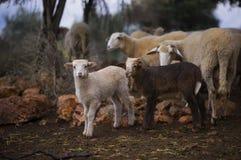 lambs får Bördig vinter Royaltyfri Foto