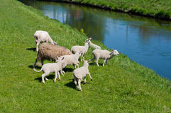 Lambs family Stock Photos