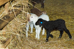 Lambs on the farm Royalty Free Stock Images