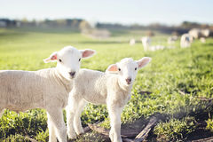 Lambs Royalty Free Stock Photography