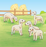 Lambs on The Farm Stock Images